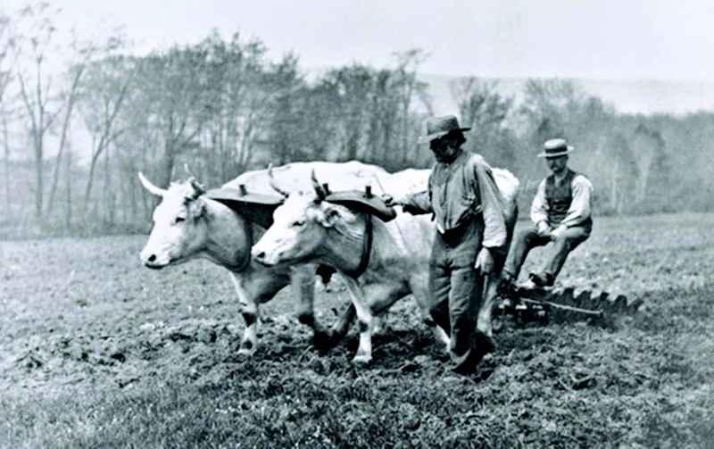 farm oxen