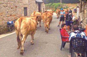 pilgrimage - bulls